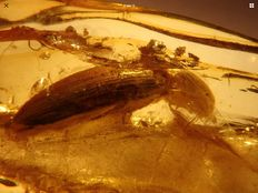 Baltic Amber inclusion huge body 8mm beetle fossil