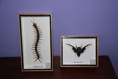 Fine, framed pair of exotic Red-headed Centipede and Aquila Beetle - 13 x 15,5cm and 23 x 13cm  (2)