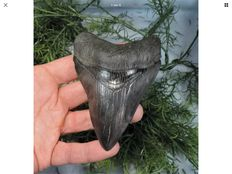 Fossil shark tooth - C. megalodon - 10,5 cm