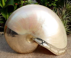 Unique item - a Nautilus pompilius pearl shell - Parts have been 925 silver plated - for collectors and enthusiasts