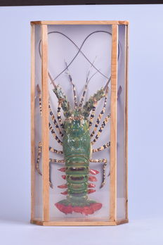 Large Vietnamese Green Lobster in custom-made glass case - Nephropidae sp. - 57 x 28 x 11cm