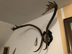 Taxidermy - Caribou antlers on hardwood shield - Rangifer tarandus caribou - 80 x 60 x 50cm