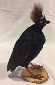 Taxidermy Crested Partridge - Roul-roul - Rollulus rouloul - 24 x 10 x 16cm - 83gm