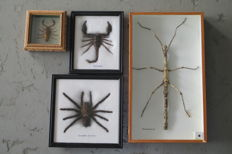 Small collection of cased Insects - Stick Insect, Spider and Scorpions - 20 x 20, 18 x 15 and 11.5 x 11.5cm  (4)