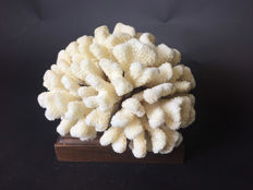 Fine, white Cauliflower Coral on walnut base - Pocillopora eydouxi - 25 x 20 x 20cm