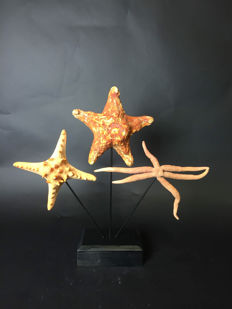Curious Lot of Amorphous Atypical Starfish mounted on wood base - Nardoa, Anthenea and Protoreaster sp. - 46 x 10 x 40cm