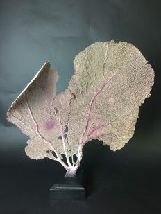 Large Purple Sea Fan - Gorgonia ventalina - 48 x 52 x 12 cm