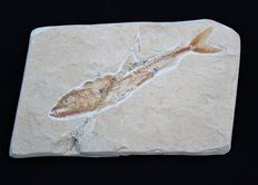 Fossil raptor fish on matrix plate - Eurypholis boissieri - 14.5 x 9.0 cm