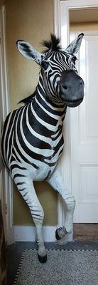 First class taxidermy - Plains Zebra shoulder-mount, with forelegs - Equus quagga - 165 x 90cm