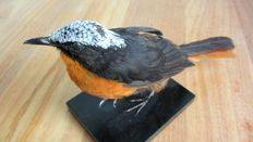 Taxidermy - White-crowned Robin-chat - Cossypha albicapillus - 25cm