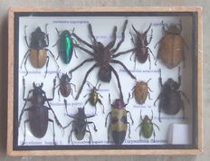 Fine Entomologist's collection box – 20 x 15cm