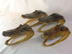 Set of skin-on American Alligator skulls - Alligator mississippiensis - 20, 19, 17 and 16cm  (4)
