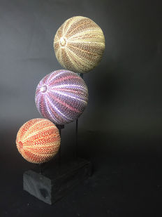 Fascinating trio of Watermelon Sea Urchins, fixed on wooden base - Echinoidea sp. - 40 x 14 x 15cm
