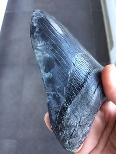 Megalodon tooth, rare marble stripes  - 12.7 cm (5 inches)