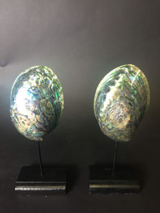 Fine pair of Rainbow Abalone shells mounted on black bases - Haliotis iris - 23 x 9 x 6cm  (2)