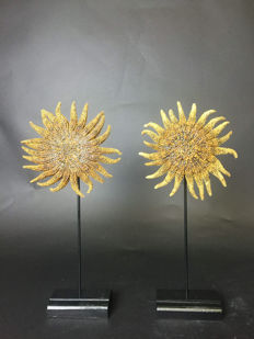 """Sunflower"" Starfish - Crown-of-thorns - mounted on black bases - Acanthaster sp. - 31 x 14 x 6,5cm  (2)"