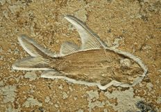 Fossil fish - Propterus microstomu - 93 mm