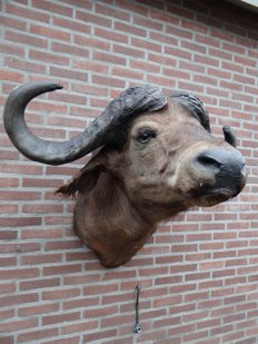 Taxidermy - fine, large Cape Buffalo mount - Syncerus caffer - 95 x 110cm