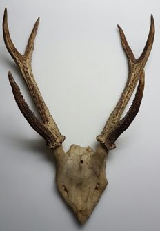 Antique Axis Deer/Cheetal antlers, with part skull - Axis axis - 42cm