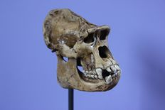 Gorilla-type, replica Great Ape skull on stand - 13 x 14 x 8 cm