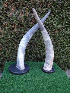 Ankole-Watusi horns on wood bases - Bos taurus watusi - 50cm  (2)