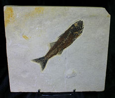 Long fossil fish - Mioplosus labracoides - 14,2 cm