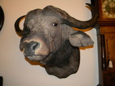 Taxidermy – Antique – Superb, best-quality African Cape Buffalo mount, by Rowland Ward's, Kenya – Syncerus caffer – 100 x 100cm