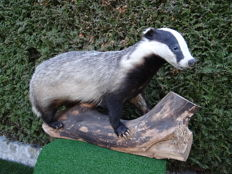 Taxidermy - European Badger - Meles meles - 90 x 45 x 30cm