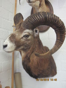 Taxidermy – fine pair of Mouflon – one shoulder-mount, the other on hardwood shield – Ovis aries orientalis –