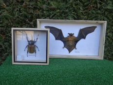 Taxidermy – cased Rhinoceros Beetle and Cave Nectar Bat – Oryctes nasicornis and Eonycteris spelaea – 30.5 x 20.5cm and 15.5 x 15.5 cm  (2)