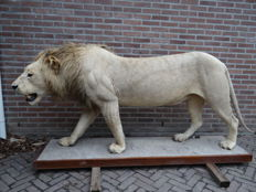 Taxidermy – impressive male African Lion full mount – Panthera leo – 240 x 110cm