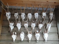 Interesting collection of Roebuck trophy skulls - Capreolus capreolus - ca.23 x 13cm  (18)