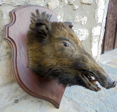 Taxidermy - French Wild Boar head, on recent Oak shield - Sus scrofa - 70 x 50cm - 31kg