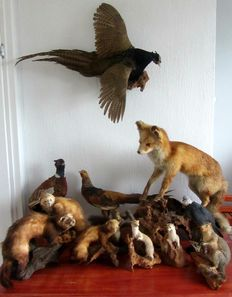 Taxidermy - Vintage collection of various, including Fox, Pheasant, Martens - (12)