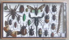 Interesting Entomology display case, including Tarantula, Scorpion and Poison Centipede - 35 x 20cm