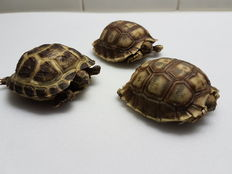 Taxidermy - Russian/Horsefield's Tortoise and African Spurred Tortoise - Testudo horsfieldii and Centrochelys sulcata - 6cm  (3)