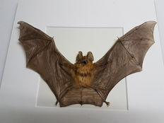 Taxidermy - Blyth's Horseshoe Bat, in 3-D display case - Rhinolophus lepidus - 25 x 25cm