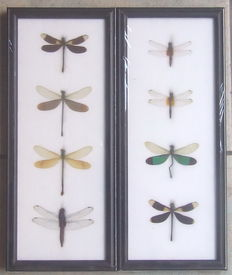 Fine pair of black-framed Dragonfly displays -  Odonata-Anisoptera sp. - 32 x 13cm  (2)