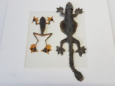 Taxidermy - Reinwardt's Tree Frog and Kuhl's Flying Gecko in 3-D display case -  Rhacophorus reinwardtii and Ptychozoon kuhli - 25x25