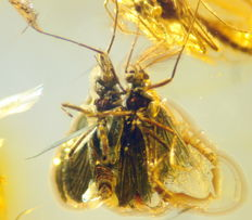 Fossil insect in baltic amber -  ca. 3,5 x 1,35 x 0,8cm