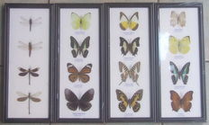 Interesting collection of Butterflies and Dragonflies - 32 x 13,5cm  (4)