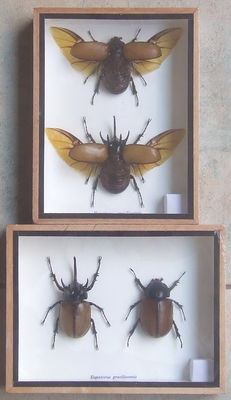 Five-horned Rhinoceros Beetles - 20 x 15cm  (2)