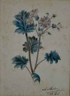 Unknown (19th century) - A botanical study of a wild flower.