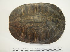 Large Red-eared Slider Turtle, full carapace - Trachemys scripta elegans - 24 x 19 x 7cm