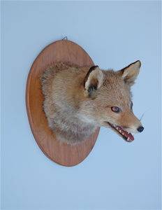 Taxidermy - Fox Mask on shield - Vulpes vulpes - 26 x 22cm