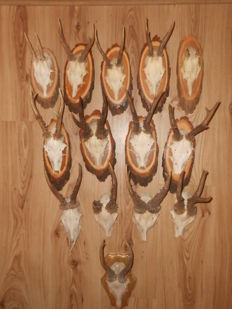 Large Roebuck trophy collection, most on wall-plaques - Capreolus capreolus  -  various sizes  (14)