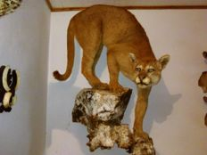 Best quality taxidermy - Puma/ Mountain Lion on wall-hung artfificial rocks - Puma concolor - 83 x 104cm