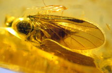 Fossil insect in baltic amber -  ca. 2,2 x 0,7 x 0,5cm
