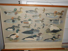 """Beautiful poster of the; """"Water birds"""""""