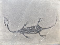 Swimming reptile - Keichousaurus hui - 10.2 cm (13 cm in stretched position)